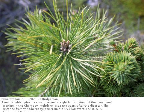 A multi-budded pine tree (with seven to eight buds instead of the usual four) growing in the Chernobyl meltdown area two years after the disaster. The distance from the Chernobyl power unit is six kilometers. The U. S. S. R. Academy of Sciences experimenta