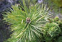 A multi-budded pine tree (with seven to eight buds