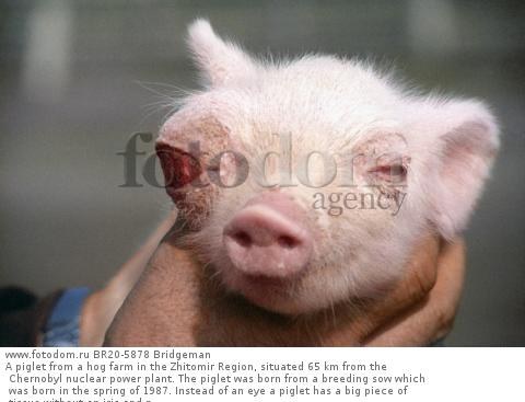 A piglet from a hog farm in the Zhitomir Region, situated 65 km from the Chernobyl nuclear power plant. The piglet was born from a breeding sow which was born in the spring of 1987. Instead of an eye a piglet has a big piece of tissue without an iris and p
