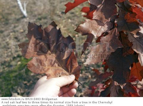 A red oak leaf two to three times its normal size from a tree in the Chernobyl meltdown area two years after the disaster, 1989 (photo)