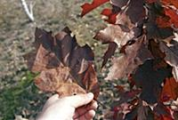 A red oak leaf two to three times its normal size