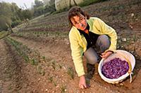 Chantal Pelette collecting Saffron Crocus flowers.