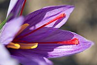 Saffron Crocus flower at 'Safran de Bordeaux'  Amb