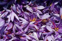 Harvested Saffron Crocus flowers at 'Safran de Bor