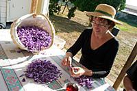 Chantal Pelette collecting stigmas from Saffron Cr
