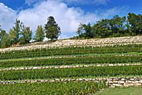 Terraced vineyard of Chateau Faugeres  St-Etienne-