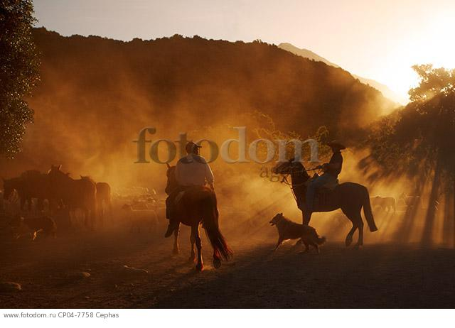 Huasos herding sheep at sunset in the Tumunan Valley  near San Fernando  Chile.