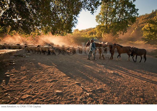 Huaso herding sheep at sunset in the Tumunan Valley  near San Fernando  Chile.