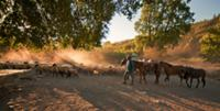 Huaso herding sheep at sunset in the Tumunan Valle