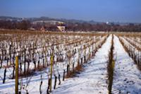 Denbies vineyard in the snow with the winery and v