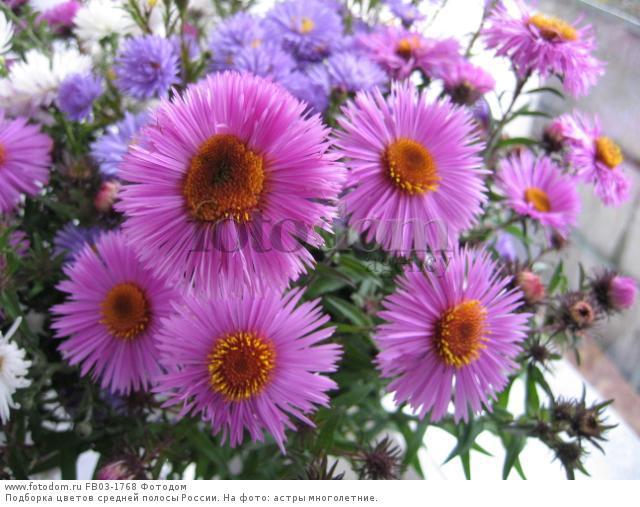 Фото многолетних цветов средней полосы