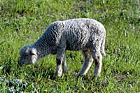 Домашний скот. На фото - овца.