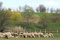 Домашний скот. На фото - овцы.