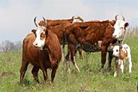 Домашний скот. На фото - корова.
