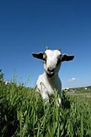 Домашний скот. На фото - коза.