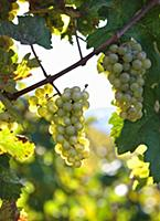 Riesling grapes on a vine