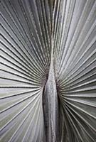 A silver grey Fan palm cultivar, Close view of the
