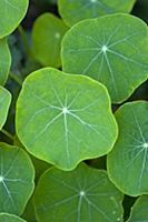 Nasturtium, Tropaeolum majus, Close up of green le