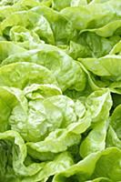 Butterhead lettuce, Lactuca sativa ' Imperial Wint