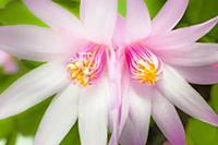 Rose Easter cactus, Rhipsalidopsis rosea, Close vi