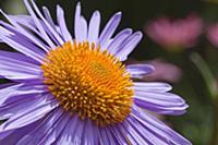 Aster tongolensis 'Berggarten', Close up of mauve