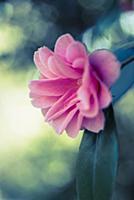 Camelia, Camellia japonica 'Yours truly', Close si