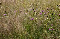 Knapweed, Centaurea nigra, Wild flower meadow in E
