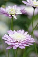 Marguerite daisy, Argyranthemum frutescens cultiva