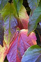 Boston ivy, Parthenocissus tricuspidata, Close-up