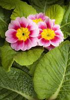 Primrose, Primula 'Appleblossom', Overhead graphic