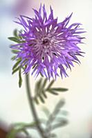 Persian Cornflower, Centaurea dealbata, Side view