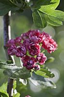 Double pink hawthorn, Crataegus laevigata 'Rosea F