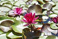 Water lily, Nymphaea 'Perrys red star', Double flo