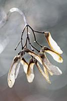Maple, an Acer cultivar, Close view of winged seed