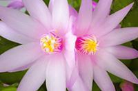 Rose Easter cactus, Rhipsalidopsis rosea, Close vi