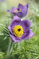 Pasque flower, Pulsatilla vulgaris, Close front vi