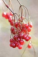Birchleaf Viburnum, Viburnum betulifolium, Close v