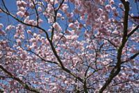 Cherry, Japanese Flowering Cherry, Prunus 'Beni-yu
