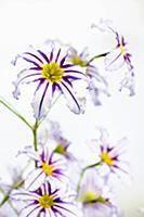 Andean glory of the sun lily, Leucocoryne vittata,