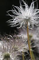 Pasque flower, Pulsatilla vulgaris rubra, Close cr
