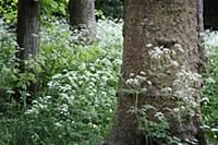 Cow parsley, Anthriscus sylvestris, Masses of whit