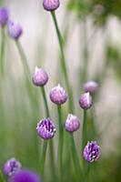 Chive, Allium schoenoprasum, Purple buds and emerg