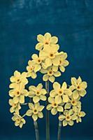 Daffodil, Narcissus x intermedius, Front view of t