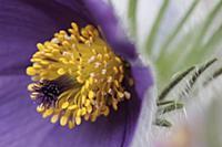 Pasqueflower, Pulsatilla vulgaris, Very close view