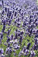 Lavender, Lavandula angustifolia, Side view of a m