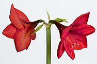 Amaryllis, Hippeastrum 'Red Lion', Two red flowers