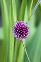 Allium sphaerocephalon, A single purple spherical