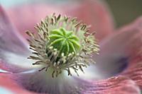 Opium poppy, Papaver somniferum, Very close view o