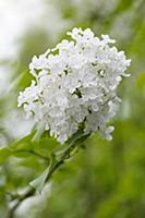 Lilac, Syringa oblata, One flowering panicle with