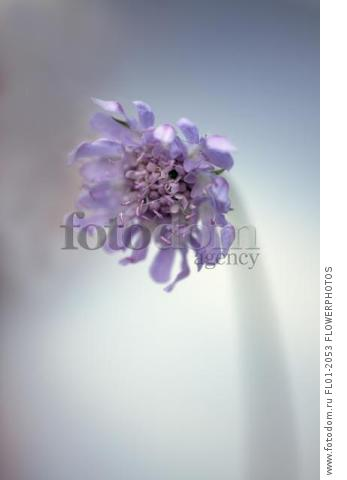 Scabious, Scabiosa columbaria 'Blue note', Side view of half open lilac flower with same colour stamens, Selective focus.